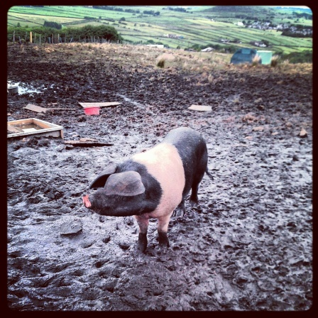Pig near Wessenden Head Road