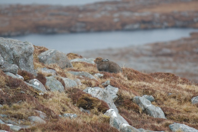 Mountain Hare on Suaineabhal