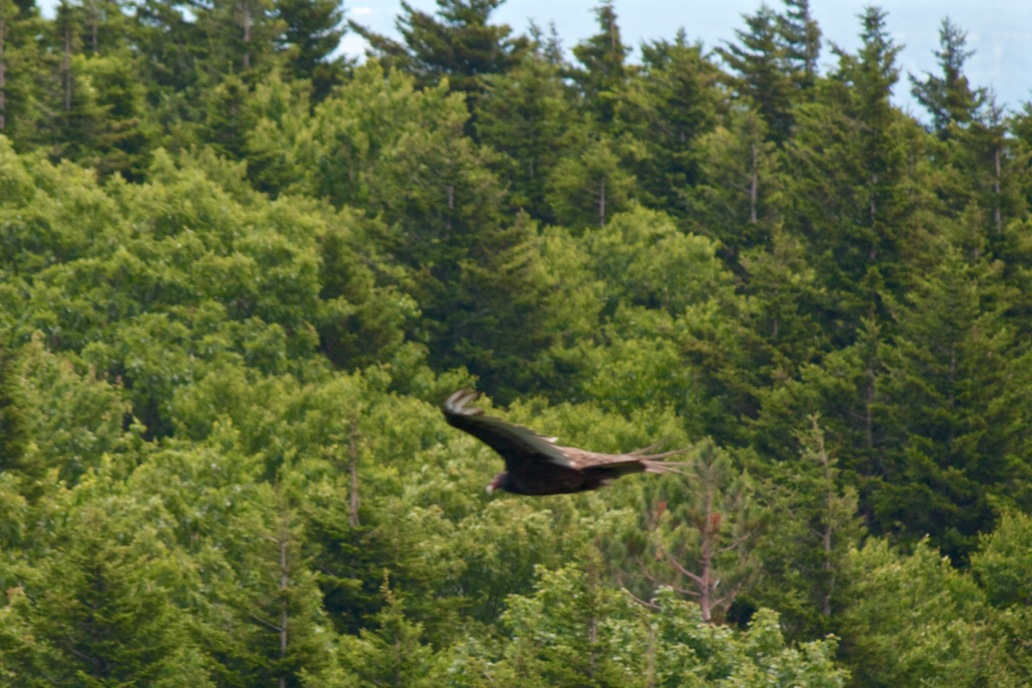 Catskills Eagle Buzzard raptor bird of prey